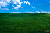 Field of Wheat in the Palouse Valley